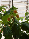 Framboises blanches