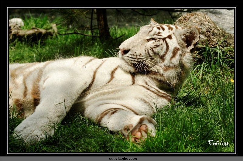 Le tigre blanc royal