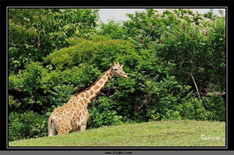 la girafe ne baille pas photo n 1395 album les animaux du zoo. Black Bedroom Furniture Sets. Home Design Ideas